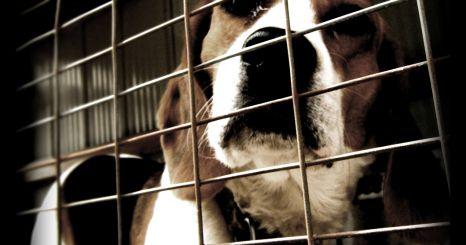 Green Hill, un allevamento di cani in serie destinati alla vivisezione