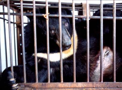 Animals Asia Foundation: contro le fabbriche della bile ma non solo