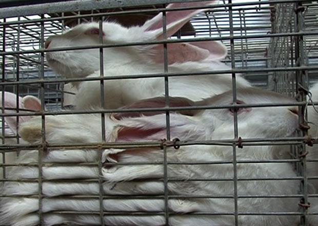 Conigli, video-inchiesta sugli allevamenti dell'orrore
