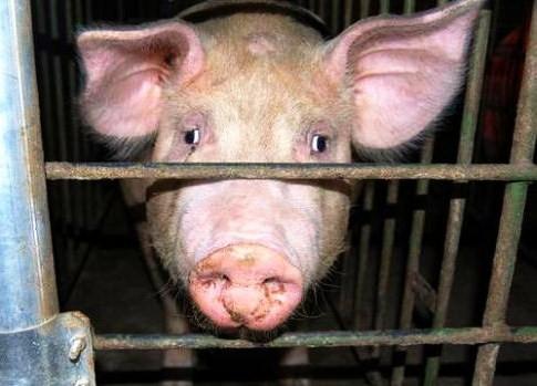 In nome del lavoro, il mattatoio di maiali più grande d'Europa