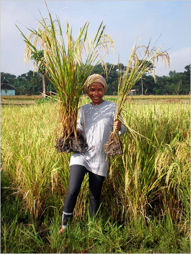 Produrre più riso con meno acqua e prodotti chimici