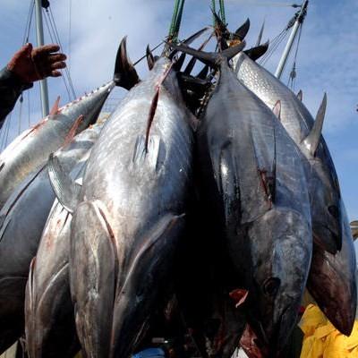 Sterminare i tonni per salvare le tartarughe, paradossi del nostro tempo