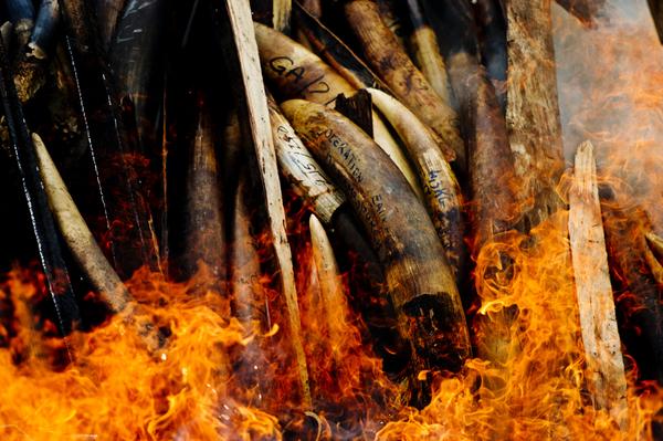 Lotta al bracconaggio, in Gabon va a rogo l'avorio illegale