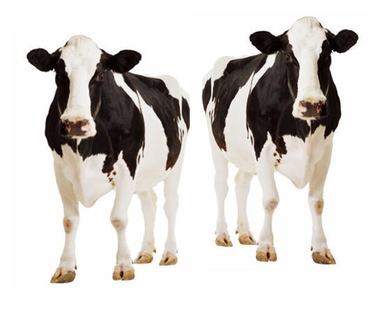 Inghilterra: latte e carne clonati potrebbero finire a tavola