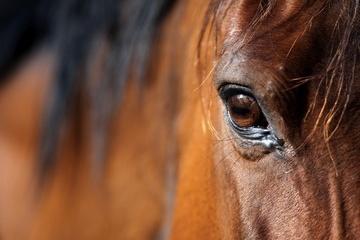 Carne di cavallo: il caso si allarga all'Italia