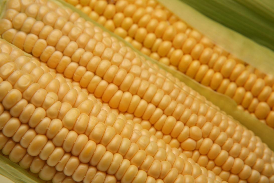 Semina mais OGM in Friuli: assolto Fidenato