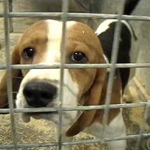Green Hill vietato per legge: approvata la norma 'restringi-vivisezione'