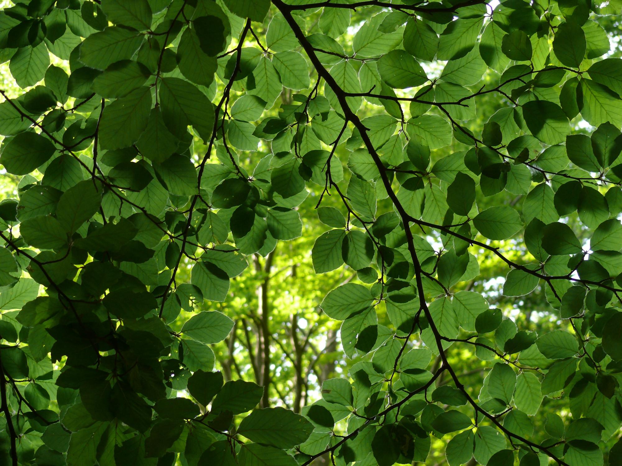 I nostri alberi stanno perdendo foglie e colori lo spiega for Gli alberi sempreverdi