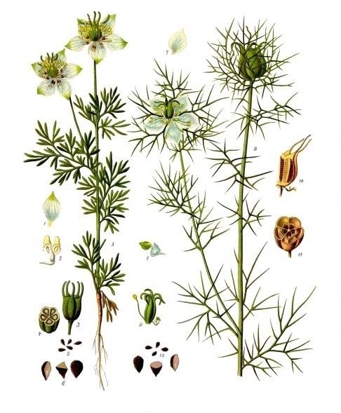 Nigella sativa, la pianta curativa che la Nestlè vuole brevettare