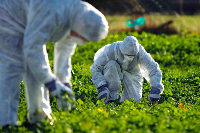 Dall'Efsa carta bianca alla diffusione incontrollata dei semi di colza ogm Monsanto