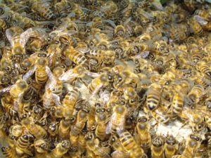 Api, sul web impazza il 'ronzio globale' per mettere al bando i pesticidi