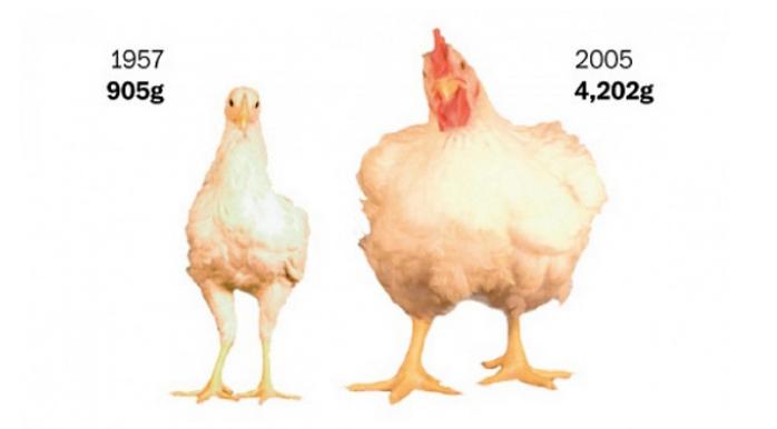 L'ossessione degli Americani per la carne di pollo