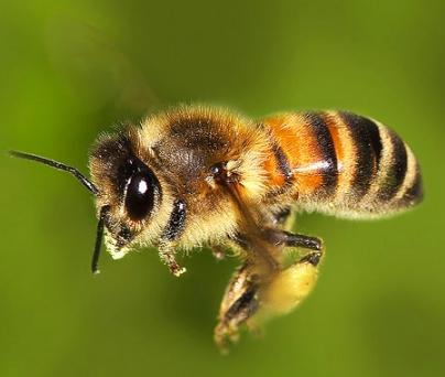 Il nostro futuro nelle mani delle api