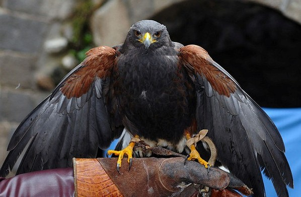 Uccelli rapaci e falconieri: una cattiva convivenza