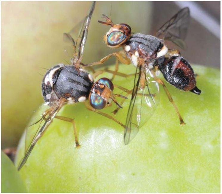 Decine di migliaia di mosche dell'olivo geneticamente modificate saranno rilasciate nell'ambiente: disastro annunciato