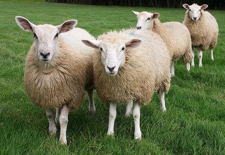 Boom di giovani pastori