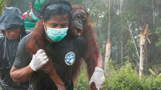 Viaggio nel Borneo per salvare gli ultimi Orangutan