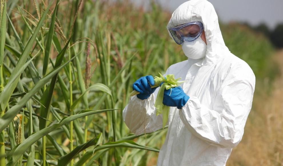 Polemiche e critiche sullo studio che assolve il mais ogm