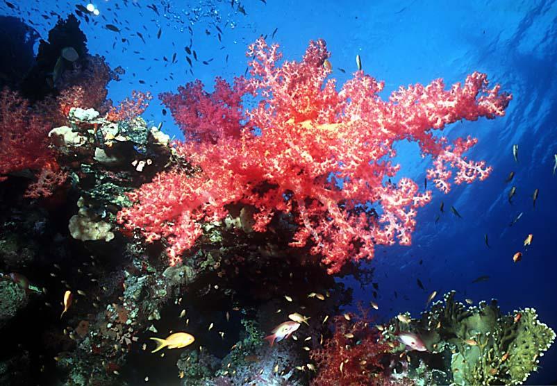Oceani, temperature in aumento: diremo addio al 'rosso corallo'?