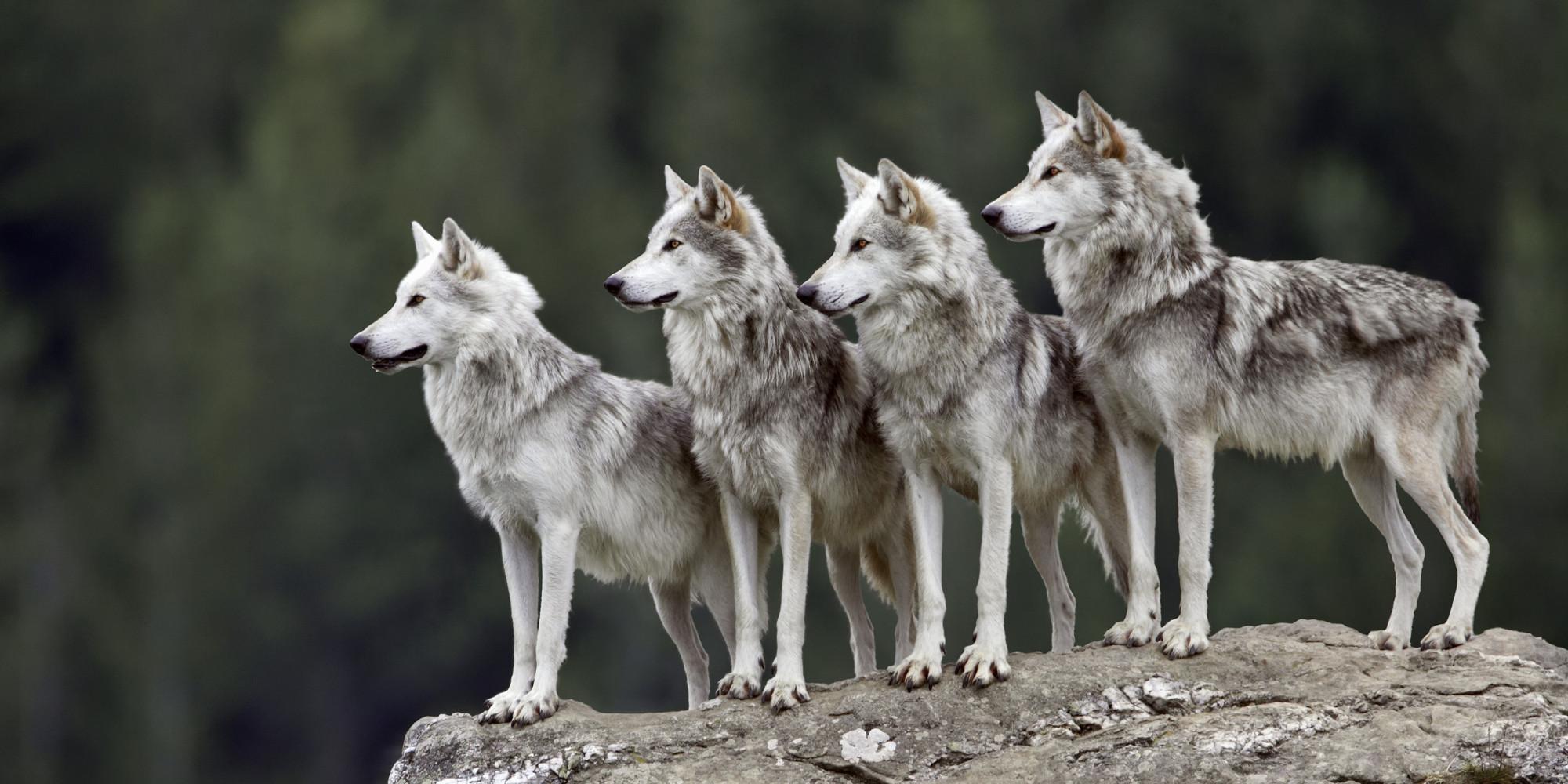 La miope guerra contro i lupi
